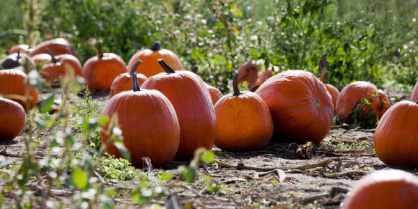 pumpkins-127cp2sm_fall-events